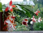 Phalaenopsis tetrapis 'C1'